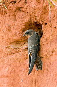 Sand martin (Riparia riparia) juvenile at entrance to nest burrow, Worcesrtershire, England, July - David Kjaer