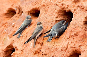 Sand martin (Riparia riparia) adult and juveniles at entrance to nest burrows, Worcestershire, England, July - David Kjaer