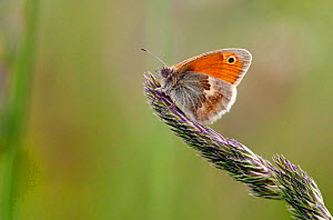 Small heath butterfly (Coenonympha pamphilus) on grass seed head, underside of wing showing, Dorset, England, May - David Kjaer