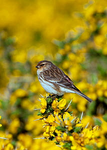 Male Twite (Carduelis flavirostris) perched on gorse, North Uist, Outer Hebrides, Scotland, May  -  David Kjaer