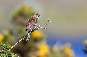 Male Twite (Carduelis flavirostris) perched, North Uist, Outer Hebrides, Scotland, May  -  David Kjaer