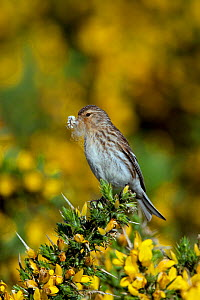 Female Twite (Carduelis flavirostris) with nest material, North Uist, Outer Hebrides, Scotland, May  -  David Kjaer