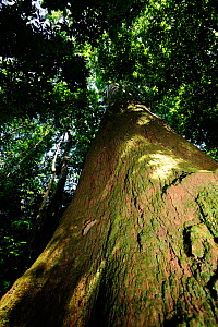Brazil nut tree (Bertholletia excelsa) with an 8m circumference and 45m height, in the upland Amazon Rainforest at Cristalino Natural Private Patrimony Reserve, Alta Floresta, Mato Grosso State, Brazi... - Luiz Claudio Marigo