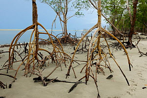 Red mangrove (Rhizophora mangle) roots exposed at low tide, eastern coast of Ceara� State, near Camocim town, Northeastern Brazil. - Luiz Claudio Marigo