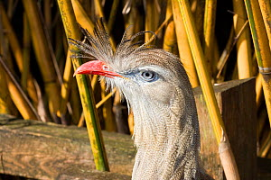 Red-legged Seriema (Cariama cristata) Captive,  Native to South America  -  Barry Mansell
