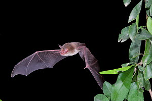Naked-backed Bat (Pteronotus personatus) in flight at night, Tamaulipas, Mexico  -  Barry Mansell