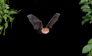 Naked backed / Moustached Bat (Pteronotus parnellii) in flight at night, Tamaullipas, Mexico  -  Barry Mansell