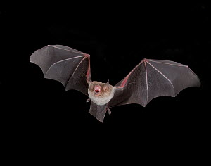 Naked backed / Moustached Bat (Pteronotus personatus) in flight at night, Tamaullipas, Mexico  -  Barry Mansell