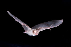 Hairy-legged Vampire Bat (Diphylla ecaudata) in flight at night, Nauvo Leon , South East Mexico, January  -  Barry Mansell