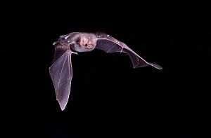 Hairy-legged Vampire Bat (Diphylla ecaudata) in flight at night, Tampaulipas, Mexico  -  Barry Mansell