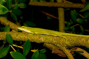 Green Anole (Anolis carolinensis) on branch, North Florida, USA  -  Barry Mansell
