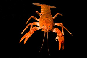 Male Fireback crayfish (Cambarus pyronotus) very narrowly restricted to a series of small ravine tributaries along the eastern bank of the upper Apalachicola River, Northern Liberty County, Florida, U... - Barry Mansell