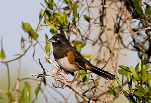 Male Eastern towhee (Pipilo erythrophthalmus) on branch, Merritte Island, Florida, USA  -  Barry Mansell