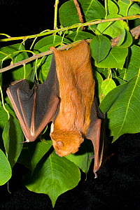 Hoary / Eastern Red Bat {Lasiurus borealis} hanging upside-down in tree, USA  -  Barry Mansell