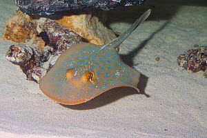 Blue spotted stingray (Neotrygon kuhlii) swimming over seabed, Red Sea - Barry Mansell