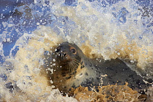 Portrait of Grey seal (Halichoerus grypus) frolicking in surf, Lincolnshire, England. - Peter Cairns