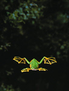 Wallace's / Abah river flying frog (Rhacophorus nigropalmatus) gliding, controlled conditions, showing use of webbed feet, from Malaysia and Indonesia  -  Stephen Dalton