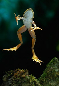 African sharp-nosed frog {Rana mascareniensis}  jumping, underside view, controlled conditions, from Africa - Stephen Dalton