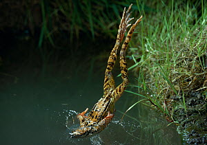 Common frog {Rana temporaria} diving into water from bank, UK, controlled conditions  -  Stephen Dalton