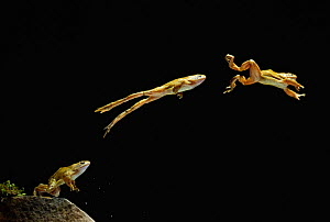 Common frog (Rana temporaria) jumping sequence, multiflash image, UK, controlled conditions - Stephen Dalton