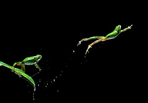 Common / European treefrog {Hyla arborea} jumping sequence, multiflash image, controlled conditions - Stephen Dalton