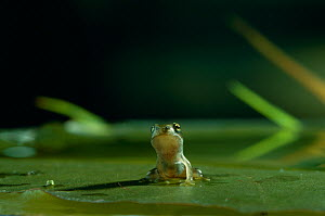 Common frog {Rana temporaria} froglet sitting on lily pad in water, UK - Stephen Dalton