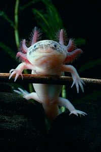 Mexican axolotyl {Ambystoma mexicanum} albino, underwater, controlled conditions - Stephen Dalton