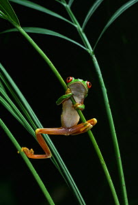 Red eyed tree frog (Agalychnis callidryas) climbing up plant stems, controlled conditions, from Central America - Stephen Dalton