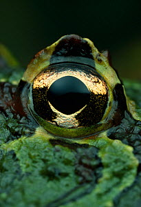 Close up of eye of Horned frog {Ceratophrys ornata} controlled conditions, from South America  -  Stephen Dalton