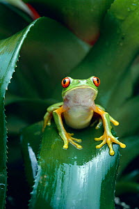 Red eyed tree frog (Agalychnis callidryas) on Bromeliad leaf, Central America, controlled conditions - Stephen Dalton