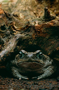 Giant / Cane toad {Bufo marinus} controlled conditions, from South America  -  Stephen Dalton