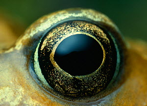 Common frog (Rana temporaria) close-up of eye, controlled conditions  -  Stephen Dalton