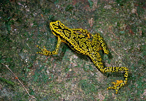 Green mosaic / Rancho grande harlequin frog (Atelopus cruciger) walking along tree trunk, Henri Pittier NP, Venezuela, South America, Critically endangered, thought extinct until a gravid female was f... - Stephen Dalton