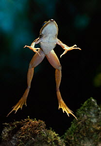 African sharp-nosed frog {Rana mascareniensis} leaping, underside view, controlled conditions, from Africa  -  Stephen Dalton