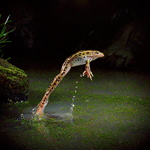 Leopard frog (Rana pipiens) leaping from water, controlled conditions, from USA  -  Stephen Dalton