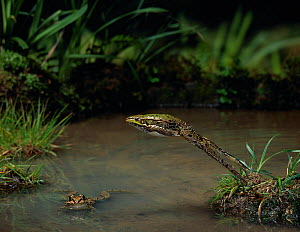 Marsh frog (Rana ridibunda) leaping over water, another in water, controlled conditions, from Europe  -  Stephen Dalton