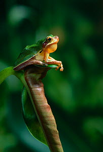 Chinese tree frog {Rana chinensis / rugulosus} sitting on curled leaf, calling, controlled conditions, from China  -  Stephen Dalton