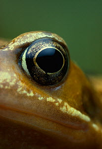 Close up of eye of Common frog {Rana temporaria} UK, controlled conditions - Stephen Dalton