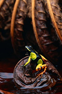 Painted mantella frog (Mantella madagascariensis) on leaf, native to Madagascar, controlled conditions - Stephen Dalton