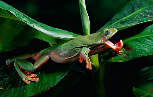 Green / White's tree frog {Litoria caerulea} catching insect prey, controlled conditions, from Australia and New Zealand  -  Stephen Dalton