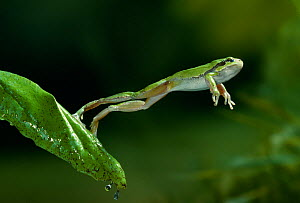 Common / European tree frog (Hyla arborea) jumping from leaf, controlled conditions - Stephen Dalton