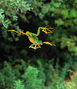Wallace's flying frog (Rhacophorus nigropalmatus) leaping, controlled conditions, from Asia  -  Stephen Dalton