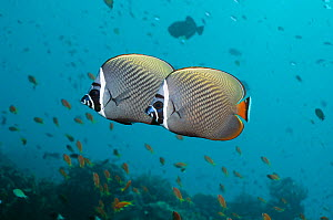 Two Redtail butterflyfish (Chaetodon collare) Andaman Sea, Thailand  -  Georgette Douwma