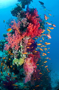 Lyretail anthias / Goldies (Pseudanthias squamipinnis) on coral reef with soft corals, Red Sea, Egypt  -  Georgette Douwma