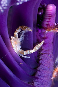 Pen crab (Porcellanella triloba) resting in Sea pen (Pteroeides) to feed on plankton, Rinca, Indonesia - Georgette Douwma