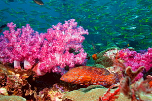 Coral hind (Cephlopholus miniata) with soft corals and school of Snappers. Andaman Sea, Thailand.  -  Georgette Douwma