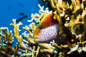 Freckled hawkfish (Paracirrhites forsteri) perched on Fire coral (Millepora dichotoma)  Egypt, Red Sea.  -  Georgette Douwma