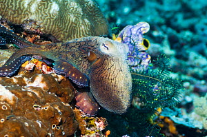 Common reef octopus (Octopus cyanea) hunting over coral. Misool, Raja Ampat, West Papua, Indonesia.  -  Georgette Douwma