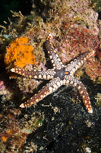 Starfish (Fromia nodosa) Solomon Islands, Western Pacific. - Georgette Douwma