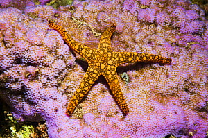 Starfish (Fromia sp) Solomon Islands, Western Pacific. - Georgette Douwma